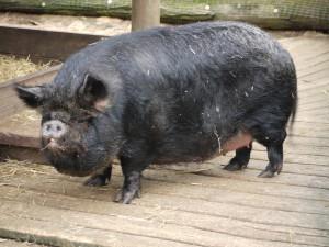 Un cerdo negro
