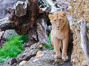 Un joven león junto a unas rocas