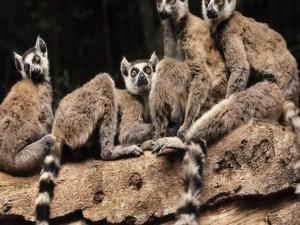 Grupo de lémures sobre un tronco