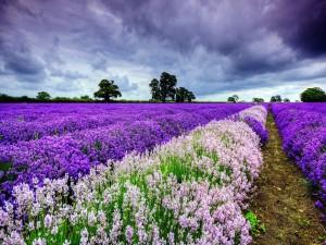 Campo de flores color lila