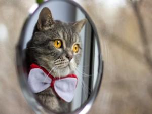 Gato con pajarita mirándose en el espejo