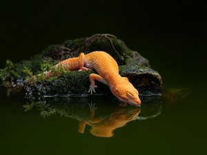 Lagarto naranja tomando agua del estanque