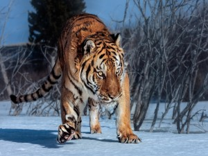 Tigre caminando sobre la nieve