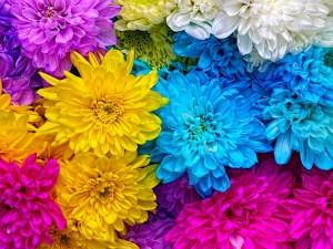 Crisantemos de varios colores