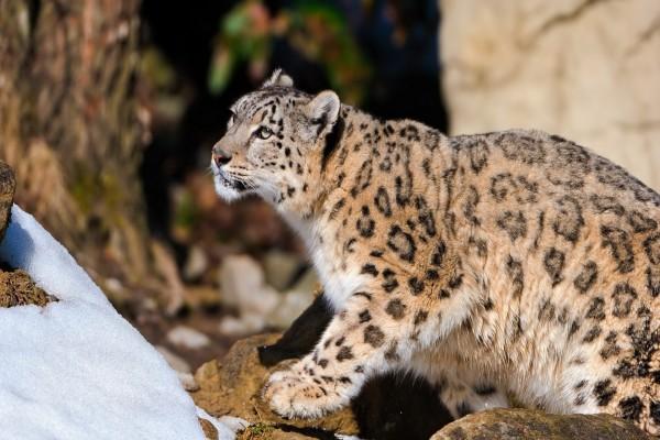Leopardo de las nieves caminando sobre unas rocas
