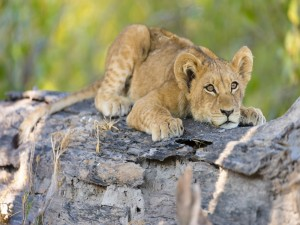 Pequeño león tumbado sobre un tronco