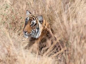 Tigre escondido entre las plantas
