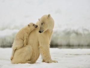 Osa polar mirando a su osezno con cariño