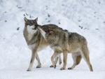 Pareja de lobos caminando sobre nieve