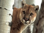 Puma observando tras un árbol