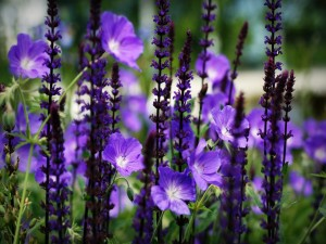 Varias flores color púrpura