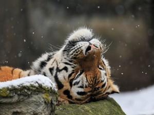 Tigre tumbado en una piedra disfrutando de los copos de nieve