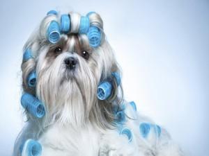 Perro de raza Shih Tzu con rulos en el pelo