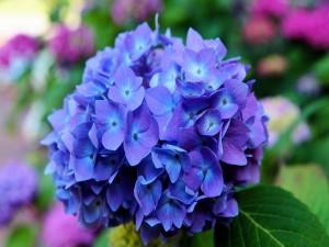 Espléndida hortensia color azul