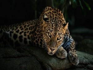 Leopardo sobre una roca