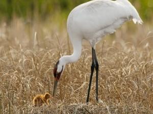 Garza alimentando a su polluelo