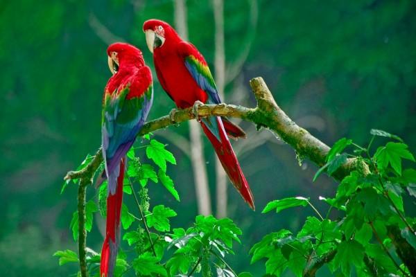Dos loros rojos sobre una rama