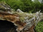 Gran tronco caído en un bosque