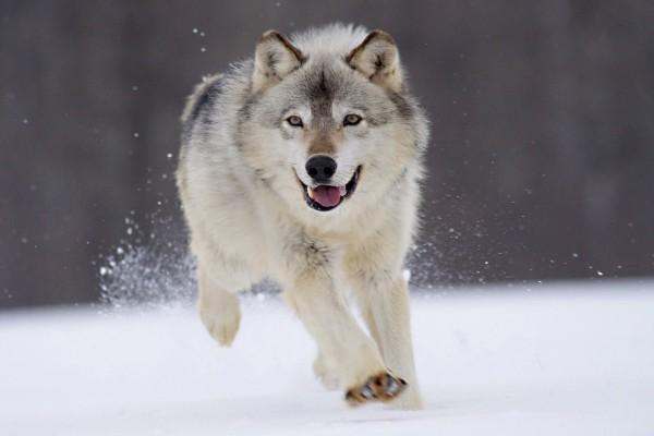 Lobo corriendo sobre la nieve