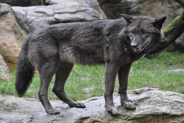 Lobo negro sobre una roca
