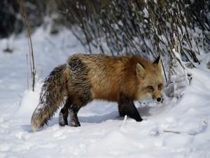 Zorro buscando comida en invierno