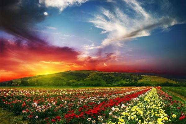 Campo cubierto de rosales