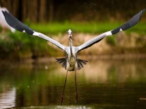 Garza alzando el vuelo con un pez en el pico