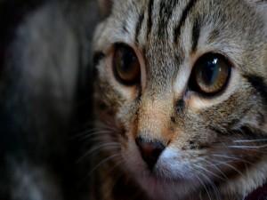 La cara de un lindo gato