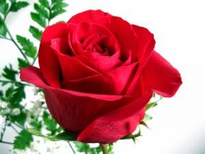 Una rosa roja para regalar