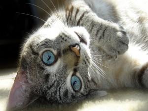Gato de ojos azules tumbado sobre una alfombra