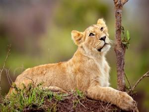 Cachorro de león tumbado junto a un pequeño árbol