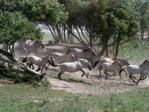 Manada de caballos blancos corriendo por el campo