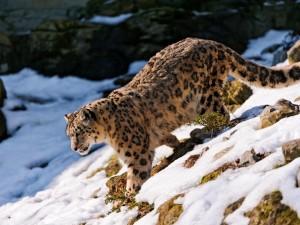 Leopardo de las nieves bajando por una colina