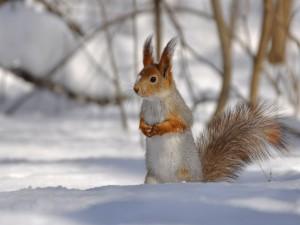 Una ardilla en la nieve