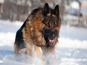 Un pastor alemán corriendo en la nieve