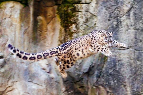 Gran salto de un leopardo de las nieves