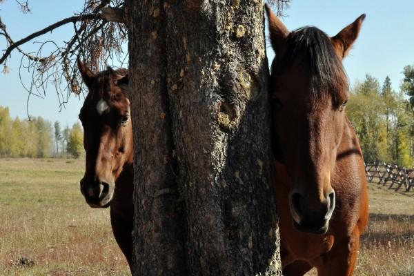 Dos caballos marrones junto a un árbol