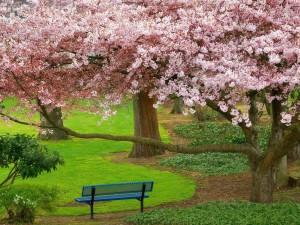 Banco bajo un hermoso árbol en flor