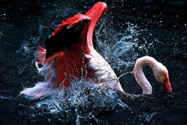 Flamenco rosa chapoteando en el agua