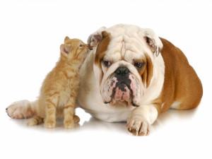 Gatito ronroneando en el oído de un bulldog