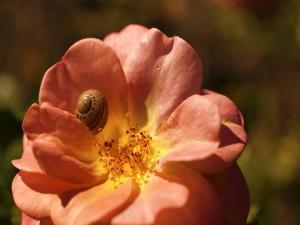 Caracol entre los pétalos de una flor