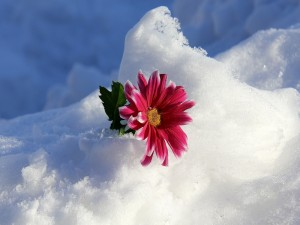 Gerbera fucsia sobre la nieve