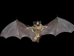 Murciélago volando en la noche con la boca abierta