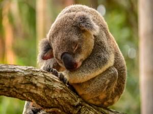 Koala sentado en un tronco dormitando