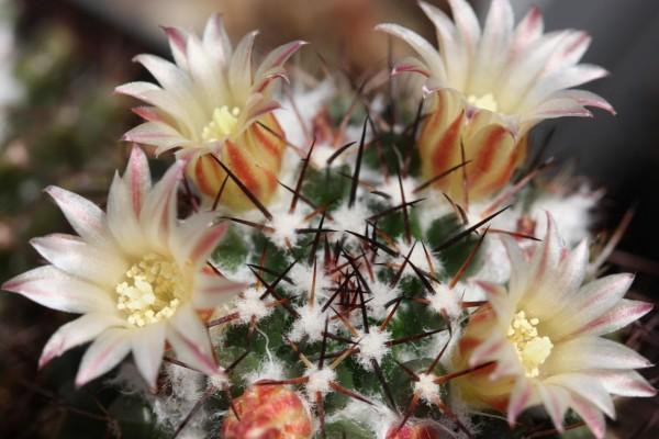 Flores blancas en un cactus
