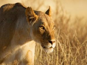 Sol reflejado en los ojos de una leona