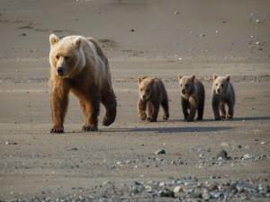 Tres oseznos caminando detrás de mamá