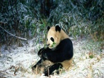 Oso panda comiendo bambú en invierno