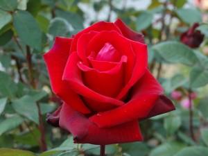 Una rosa roja en el rosal