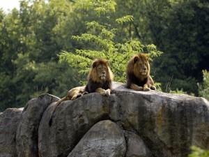 Dos leones tumbados sobre una gran roca